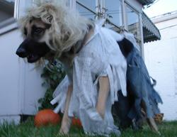 When Andre the one year old German Shepherd was a puppy, we gave him the nickname 'Wolfman' because he looked like a little wolf. I thought dressing him up as a werewolf would be perfect for Halloween. Some may argue he looks more like Keifer Sutherland as a vampire in 'The Lost Boys Movie.'