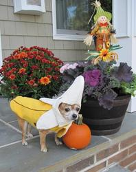 Lolita Juanita, also known lovingly as 'Lola', LOVES to eat bananas as a delicious and healthy snack! Lola loves bananas so much that she even wanted to dress like one for Halloween! Lola's is the friendliest Chihuahua around and enjoys giving kisses to her family and friends. What other doggie is adorable, sweet, and supports healthy eating? Every time I look at Lola I can't help but smile... and when she puts on her banana costume she also makes me sing... I'm a Chiquita banana and I'm here to say, I love bananas (and my mommy) in really big way! Happy Halloween!